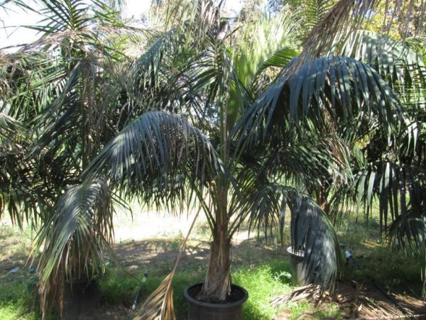 Plantas de hojas grandes - Howea Forsteriana