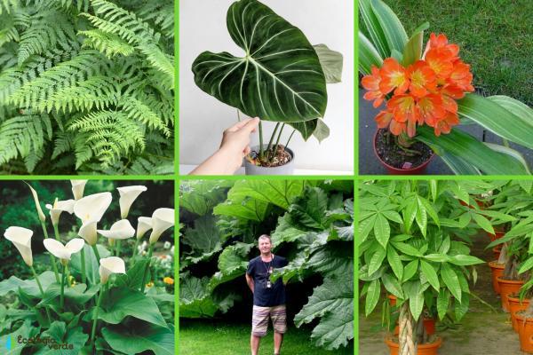 Plantas de hojas grandes - Otras plantas de hojas grandes