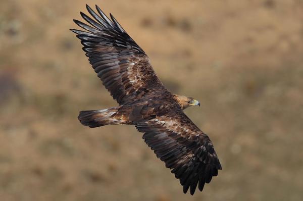 Animales con plumas - Águila real