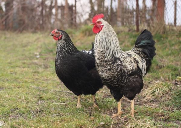 Animales con plumas - Gallina