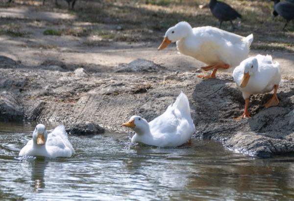 Animales con plumas - Pato doméstico