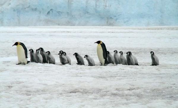 Animales con plumas - Pingüino