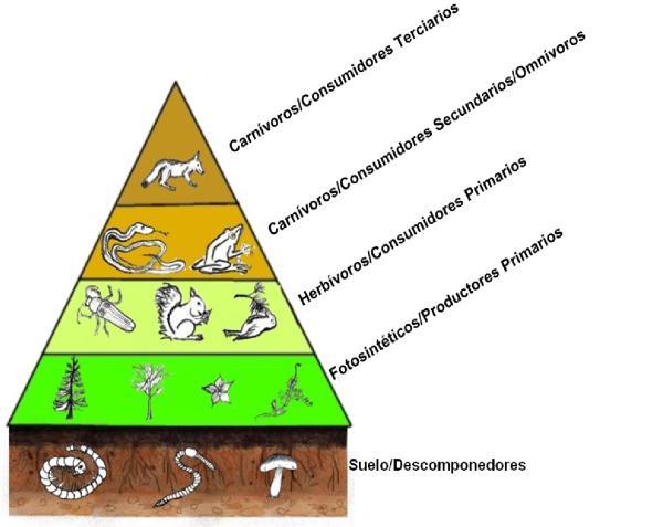 Niveles tróficos: qué son, cuáles son y ejemplos - Cuáles son los niveles tróficos