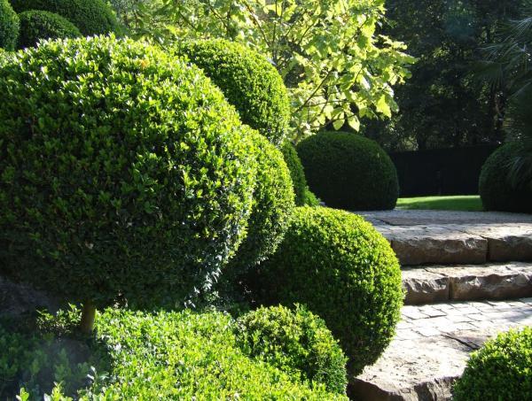Cuidados del boj en maceta - Qué es el boj o Buxus sempervirens
