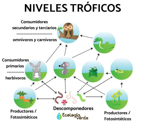 Niveles tróficos: qué son, cuáles son y ejemplos - Qué son los niveles tróficos