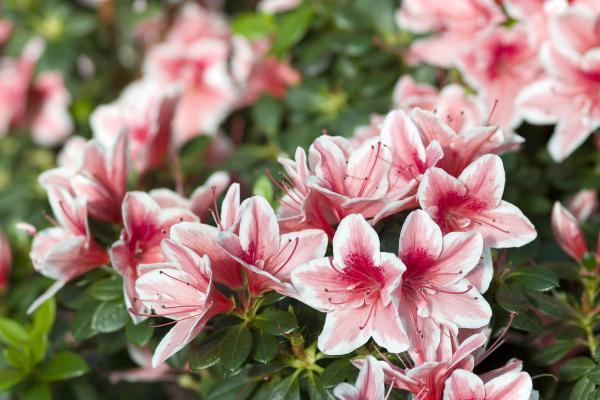 Planta azalea: cuidados y características - Características principales de las azaleas