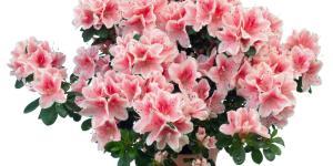 Planta azalea: cuidados y características
