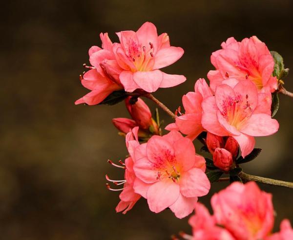 Planta azalea: cuidados y características - Planta azalea: plantación y reproducción