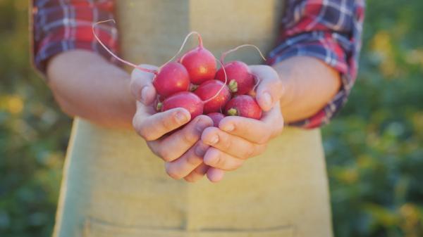 Rábanos: cómo sembrar y cultivar - Cuándo sembrar rábanos