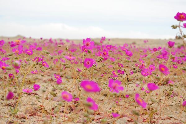 Por qué no llueve en el desierto de Atacama - Lluvia de flores en el desierto de Atacama