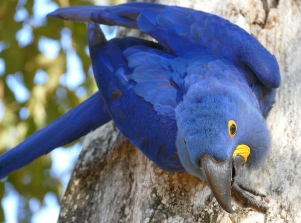 Animales en peligro de extinción en América Latina - Guacamayo azul o Jacinto