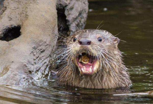 Animales en peligro de extinción en América Latina - Huillín