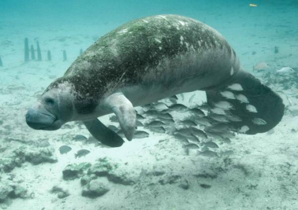 Animales en peligro de extinción en América Latina - Manatí del caribe