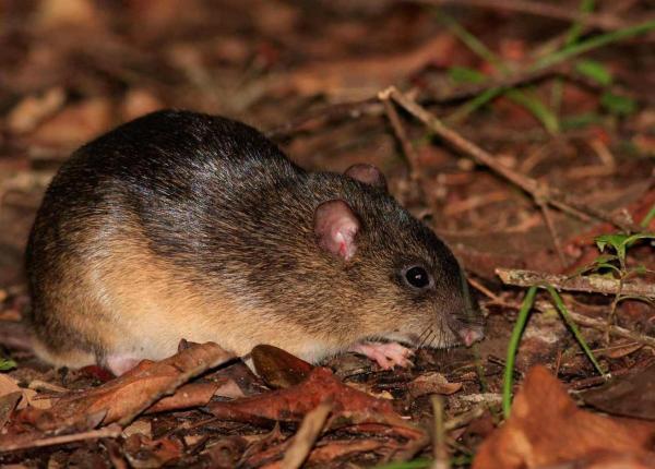 Animales en peligro de extinción en América Latina - Ratón de las lomas