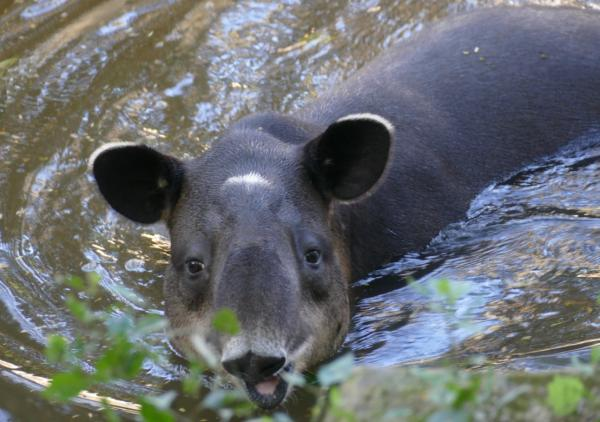 Animales en peligro de extinción en América Latina - Tapir centroamericano