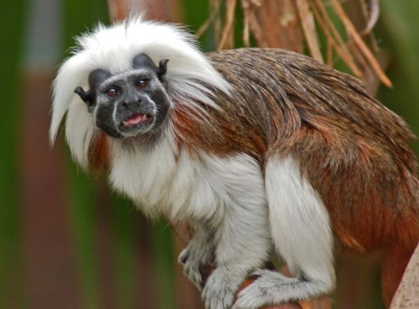 Animales en peligro de extinción en América Latina - Tití cabeza blanca