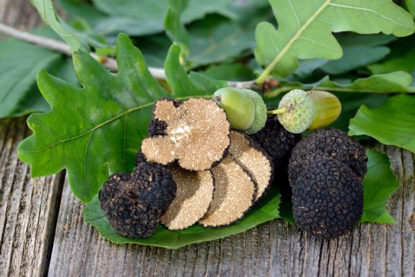 Cómo cultivar trufas - Cómo elegir planta huésped para las trufas