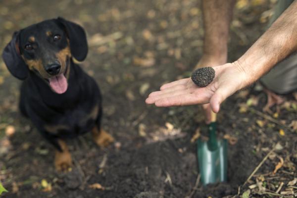 Cómo cultivar trufas - Cómo encontrar trufas para cosecharlas