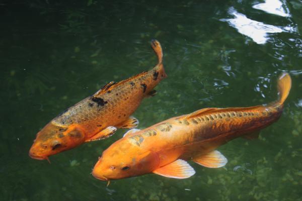 +10 animales japoneses - Koi, uno de los animales japoneses acuáticos más conocidos