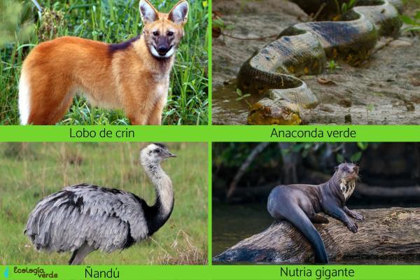 Animales en peligro de extinción en Paraguay - Otros animales en peligro de extinción en Paraguay