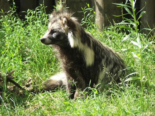 +10 animales japoneses - Tanuki, uno de los animales japoneses más conocidos