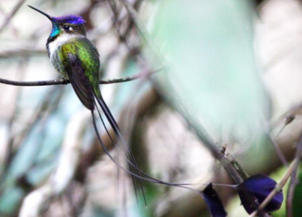 20 animales en peligro de extinción del Perú - Colibrí maravilloso