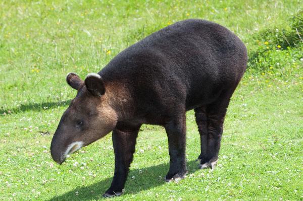 20 animales en peligro de extinción del Perú - Danta montañera o tapir de montaña