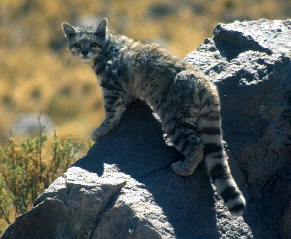 20 animales en peligro de extinción del Perú - Gato de los andes