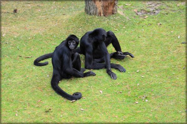 20 animales en peligro de extinción del Perú - Mono araña común