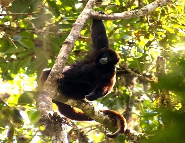 20 animales en peligro de extinción del Perú - Mono choro de cola amarilla