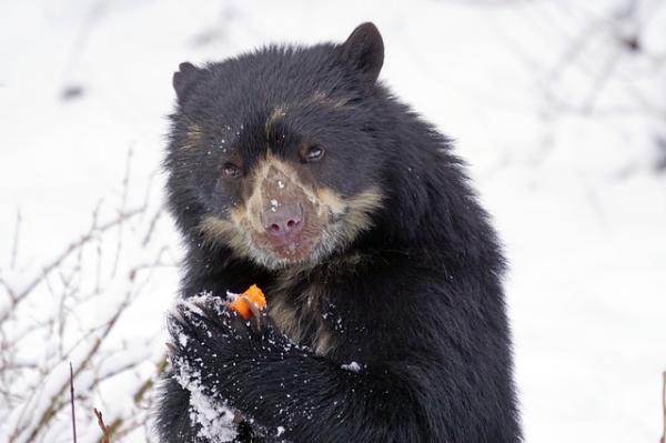 20 animales en peligro de extinción del Perú - Oso andino
