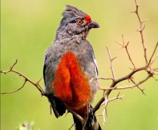 20 animales en peligro de extinción del Perú - Pájaro cortarramas peruano