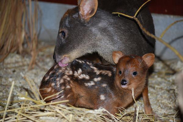 20 animales en peligro de extinción del Perú - Pudu
