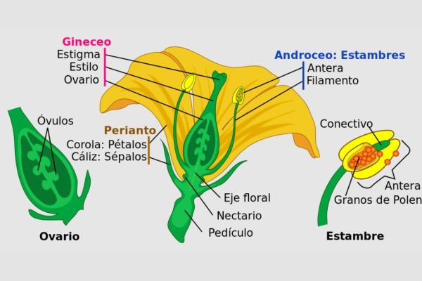 Verticilos: qué son y cuáles son - Cuáles son los verticilos florales y sus partes