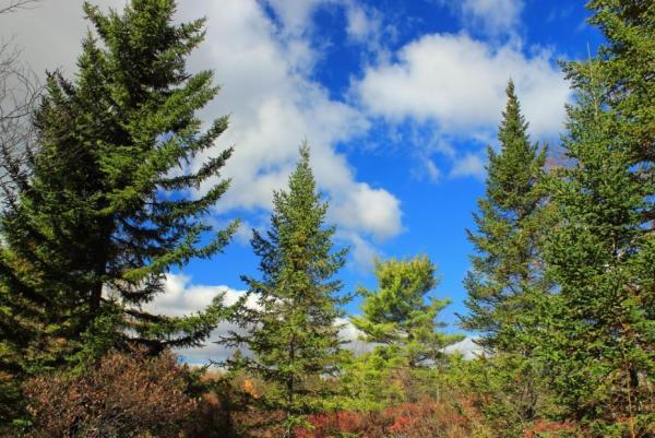 Tipos de árboles - Tipos de árboles de hoja perenne
