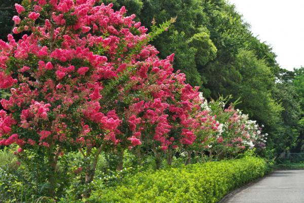 Tipos de árboles - Tipos de árboles ornamentales