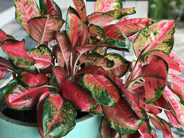 Plantas con hojas de colores - Aglaonema modestum o aglaonema de fuego
