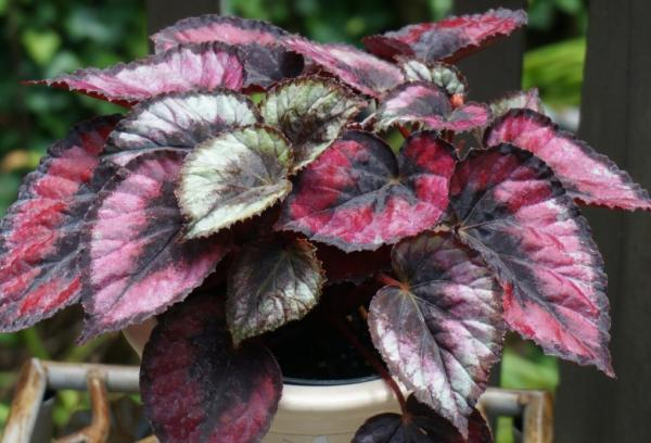 Plantas con hojas de colores - Begonia rex o begonia de hoja pintada