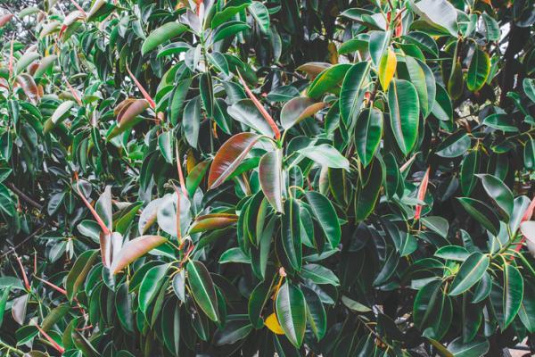 Plantas con hojas de colores - Ficus elastica o árbol del caucho