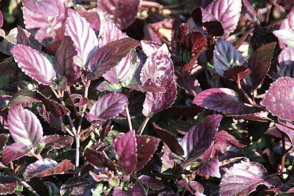 Plantas con hojas de colores - Hemigraphis alternata o hiedra roja