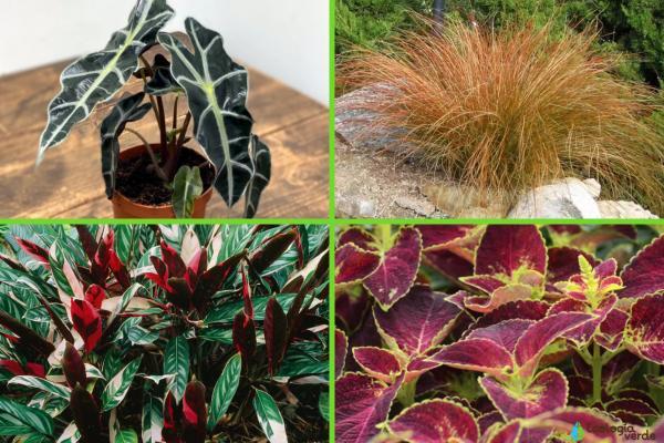 Plantas con hojas de colores - Otras plantas de hojas de colores