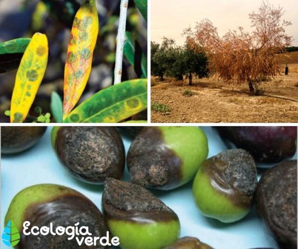 Enfermedades del olivo - Enfermedades del olivo y su tratamiento natural