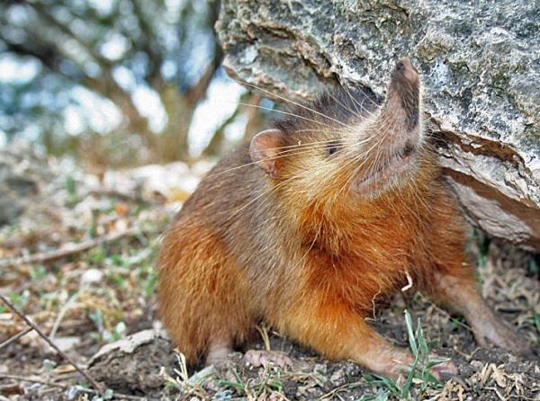16 mamíferos venenosos - Alquimí o solenodonte: mamíferos con saliva venenosa