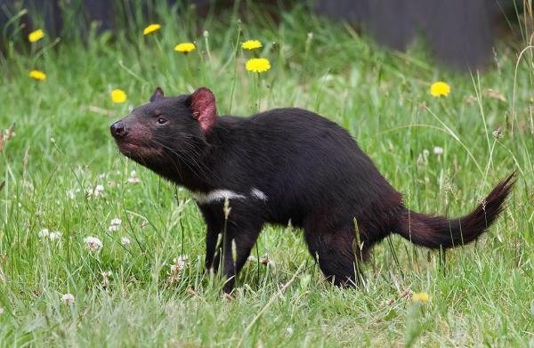 Animales en peligro de extinción en Oceanía - Demonio de Tasmania