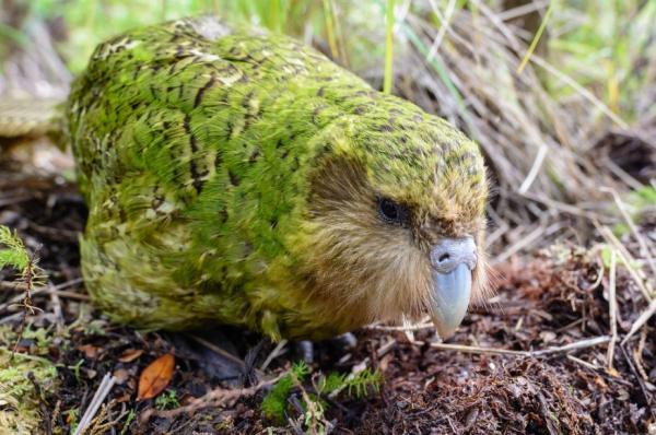 Animales en peligro de extinción en Oceanía - Kakapo