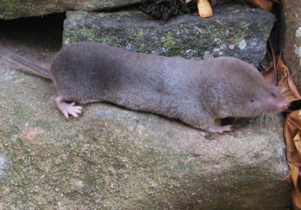 16 mamíferos venenosos - Musarañas: mamíferos venenosos más pequeños