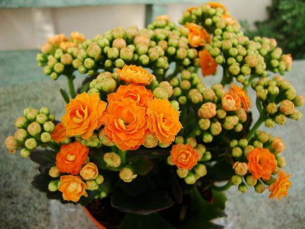+40 tipos de kalanchoe - Kalanchoe blossfeldiana, el más popular
