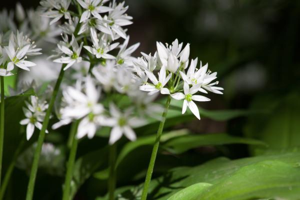 15 plantas de bulbos - Ajo, una de las plantas de bulbos más famosa