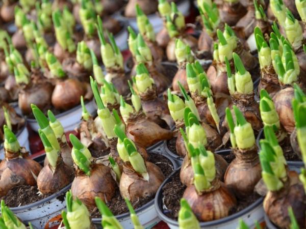 15 plantas de bulbos - Plantas con bulbos: características