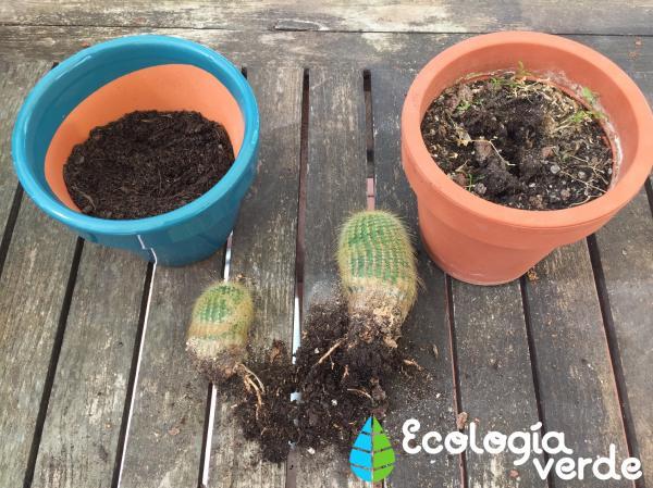 Cómo reproducir suculentas - Cómo reproducir las plantas suculentas